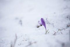 De lentebloemen onder de sneeuw Stock Foto's