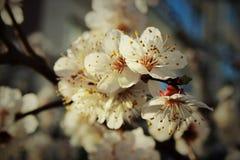 De lentebloemen van abrikoos Royalty-vrije Stock Afbeelding
