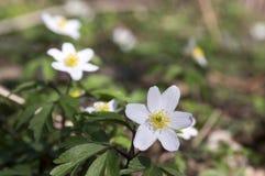 De lentebloemen van anemoonnemorosa, houten anemonen in bloei Royalty-vrije Stock Foto's