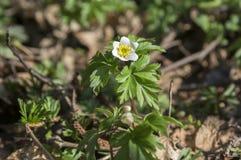 De lentebloemen van anemoonnemorosa, houten anemoon in bloei Royalty-vrije Stock Fotografie
