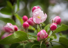 De lentebloemen van appelboom Stock Foto's