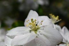 De lentebloemen van de bloeiende boom van de de lenteappel - het Macroonduidelijke beeld van de close-upmening, pastelkleurtonen  stock afbeeldingen