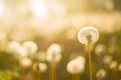 De lentebloemen van de paardebloem field royalty-vrije stock afbeelding