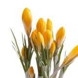 De lentebloemen van gele die krokus op witte achtergrond wordt geïsoleerd Stock Foto's