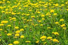 De lentebloemen van de paardebloem field stock afbeeldingen