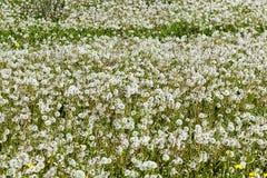 De lentebloemen van de paardebloem field Stock Foto's