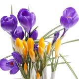 De lentebloemen van violette en gele die krokus op witte achtergrond wordt geïsoleerd Stock Afbeelding