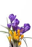 De lentebloemen van violette en gele die krokus op witte achtergrond wordt geïsoleerd Royalty-vrije Stock Foto's