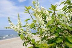 De lentebloemen van vogelkers op een achtergrond van het overzees Royalty-vrije Stock Foto