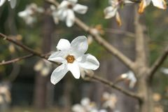 De lentebloemen van witte Magnolia op lange takken op lichte achtergrond Stock Fotografie