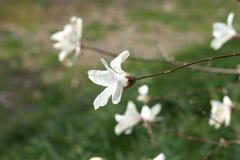 De lentebloemen van witte Magnolia op lange takken op lichte achtergrond Royalty-vrije Stock Afbeeldingen