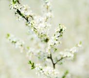 De lentebloesem Royalty-vrije Stock Afbeeldingen
