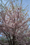De lentebloesem in Central Park Royalty-vrije Stock Foto