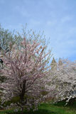 De lentebloesem in Central Park Royalty-vrije Stock Afbeelding