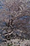 De lentebloesem in Central Park Stock Afbeeldingen