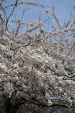 De lentebloesem in Central Park Royalty-vrije Stock Foto's