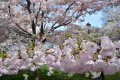 De lentebloesem in Central Park Stock Fotografie