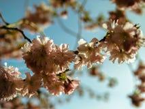 De lentebloesem in de blauwe hemel Stock Afbeelding
