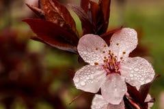De lentebloesem op een regenachtige dag Stock Foto's