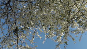 De lentebloesem over blauwe hemel Mooie aardscène met bloeiende boom enkel Geregend Mooie boomgaard de lente stock footage