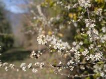 De lentebloesem, witte sleedoornbloemen van Prunus-spinosa, in aard europa stock foto's