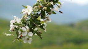 ` De lentebloesems door een bij ` worden gekust die Royalty-vrije Stock Foto's