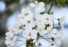 De lentebloesems op boom Royalty-vrije Stock Afbeelding