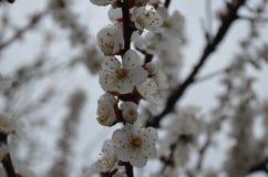 De lentebloesems van abrikozenboom Royalty-vrije Stock Afbeeldingen