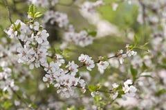 De lentebloesems van Sakura Royalty-vrije Stock Foto