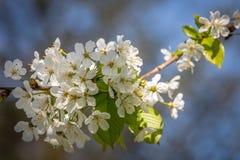 De lenteblossum Royalty-vrije Stock Foto