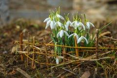 De lenteboodschappers in de tuin stock foto