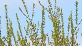 De lenteboom het Bloeien stock video