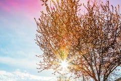 De lenteboom met de roze bloesem van de bloemenamandel op een tak op groene achtergrond, op zonsonderganghemel met het licht van  Stock Fotografie
