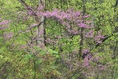 De lentebos met Kornoelje in Bloei Stock Afbeelding