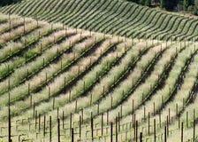 De Lentebroodjes van het wijnland royalty-vrije stock afbeelding
