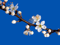 De lentedetail van de sleedoornbloesem, over blauw Prunusspinosa, sleedoorn royalty-vrije stock afbeelding