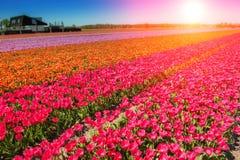 De lentegebied met tot bloei komende veelkleurige tulpen stock foto