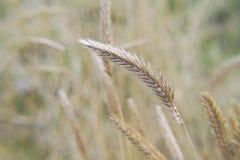 De lentegebied van de Wheatearsherfst Stock Fotografie