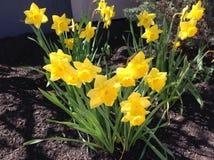 De lentegele narcissen stock afbeelding