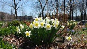 De lentegele narcissen Royalty-vrije Stock Afbeeldingen