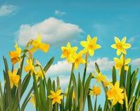 De lentegele narcissen met blauwe hemel Stock Foto