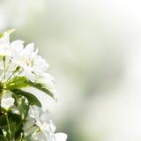 De lentegrens of achtergrond met witte bloesem met natuurlijke ligh stock afbeelding