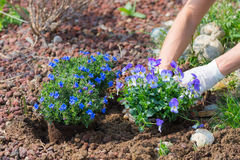 De lentehuis tuinieren, die bloemen in grond planten Royalty-vrije Stock Foto's