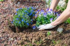 De lentehuis tuinieren, die bloemen in grond planten Royalty-vrije Stock Foto