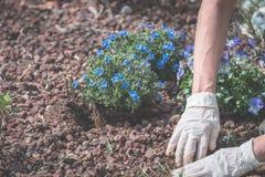 De lentehuis tuinieren, die bloemen in grond planten Royalty-vrije Stock Fotografie