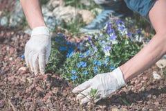 De lentehuis tuinieren, die bloemen in grond planten Stock Fotografie