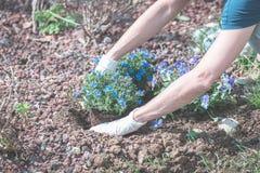 De lentehuis tuinieren, die bloemen in grond planten Stock Afbeeldingen