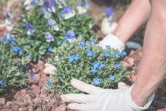 De lentehuis tuinieren, die bloemen in grond planten Royalty-vrije Stock Afbeeldingen