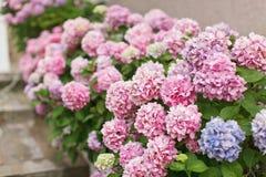 De lentehydrangea hortensia in tuin Stock Foto