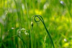 De lenteinstallatie met een krul spiraalvormig close-up royalty-vrije stock foto